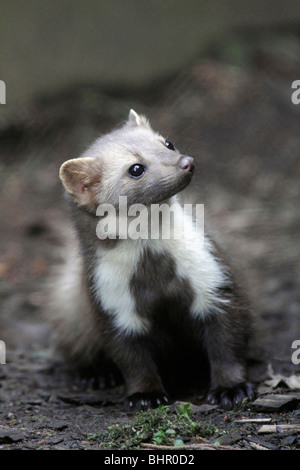European Beech / Stone Marten (Martes foina), front view showing white markings on chest, Germany - Stock Photo