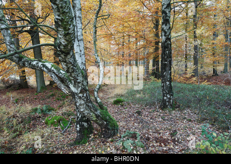 Silver Birch Tree (Betula pendula), amongst beech trees (Fagus sylvatica) in autumn , Germany - Stock Photo