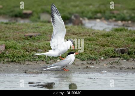 Common Tern (Sterna hirundo), pair mating, Texel, Holland - Stock Photo