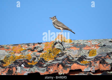 Crested Lark (Galerida cristata), perched on roof singing, Portugal - Stock Photo