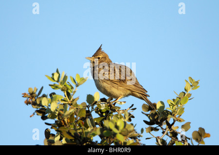 Crested Lark (Galerida cristata), perched on Holm Oak, singing, Portugal - Stock Photo