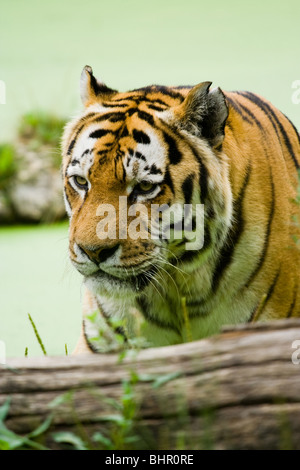Tiger on the water in a summer day - Stock Photo