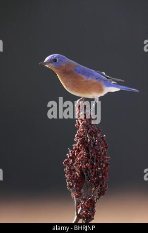 Eastern Bluebird smooth sumac berry Kentucky - Stock Photo