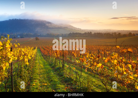 Overlooking an autumnal vineyard at Denbies Wine Estate, mist and low cloud shrouding the hillside at Box Hill - Stock Photo