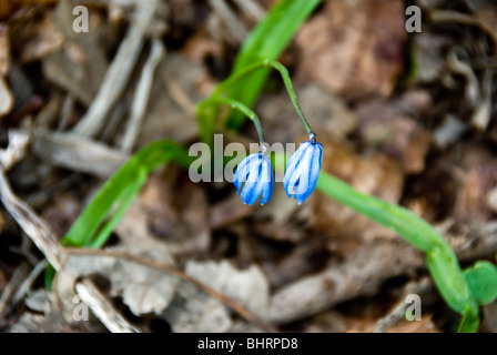 Siberian squill blossoms in early spring - Stock Photo
