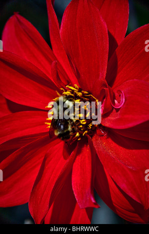 Bee pollinating the flower - Stock Photo