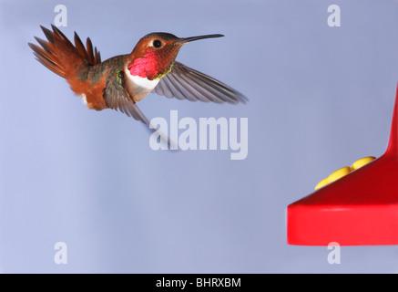 A male Allen's Hummingbird approaching a nectar feeder - Stock Photo