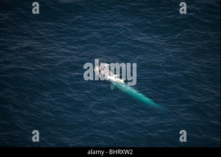 BLUE WHALE, AUSTRALIA - Stock Photo