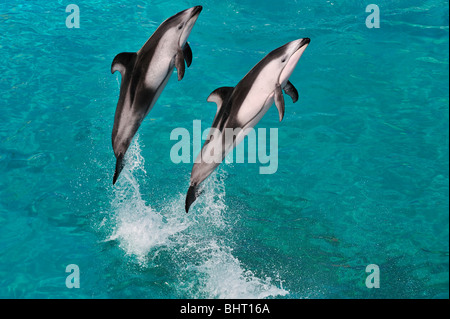 PACIFIC WHITE-SIDED DOLPHINS JUMPING