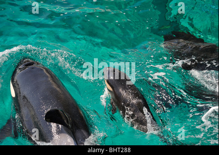 ORCA, KILLER WHALE FAMILY, BREATHING - Stock Photo