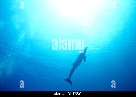 BOTTLENOSE DOLPHIN, CARIBBEAN SEA - Stock Photo