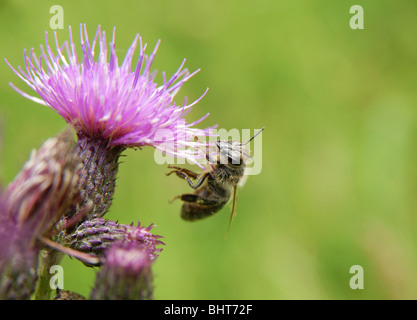 Close-up of bee sitting on pink field flower - Stock Photo