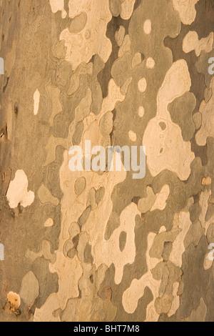 Detail of bark on Eucalyptus tree. - Stock Photo
