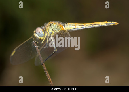 Female red-veined darter (Sympetrum fonscolombii) - Stock Photo