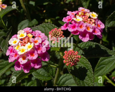India, Kerala, colourful pink flower open and in bud - Stock Photo