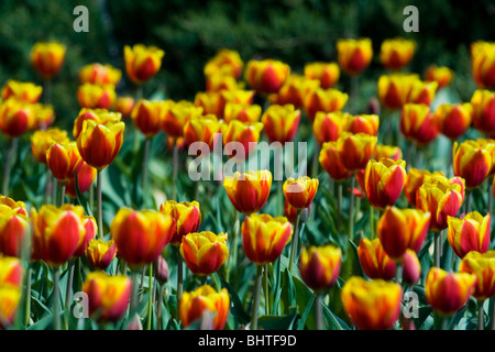 Bunch of tulips in a garden - Stock Photo