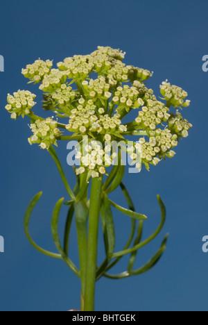 Samphire, rock samphire or sea fennel (Crithmum maritimum) - Stock Photo