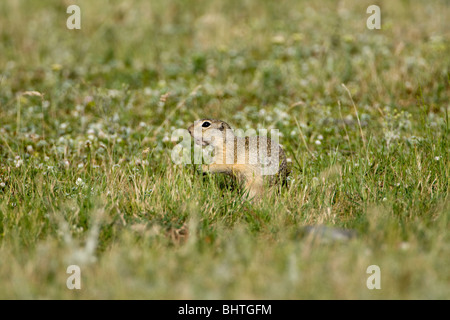 European Souslik (Spermophilus citellus) - Stock Photo