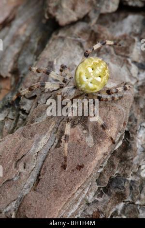 orb web spider, Araneus quadratus - Stock Photo