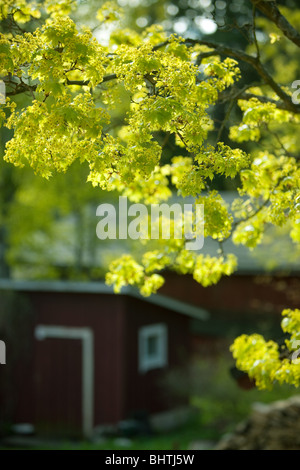 Norway Maple, Acer platanoides, blossom - Stock Photo