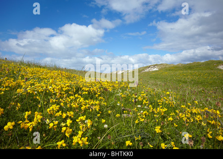 Wildflowers in the dunes on the coast of North Uist in the Outer Hebrides, Scotland - Stock Photo