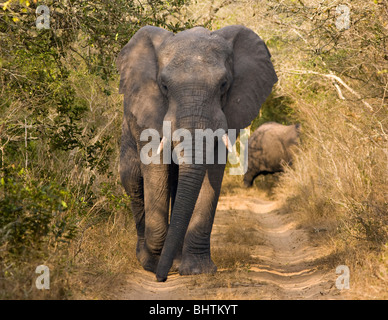 An African bull elephant (loxodonta africana) walking down a narrow dirt road. - Stock Photo