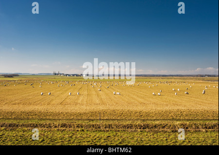 Sheep grazing on rough agricultural land in the Cambridgeshire fenlands, to the north of Woodwalton Fen National - Stock Photo
