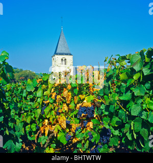Bunches of Pinot Noir grapes ripening on the vine, church tower, Chigny-les-Roses, Montagne de Reims, Marne, Champagne, - Stock Photo