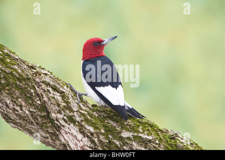 Red-headed Woodpecker perched on Twisted Vine - Stock Photo