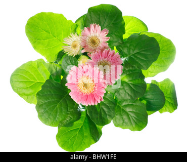 A pot of beautiful pink gerbera flowers isolated on white background - Stock Photo