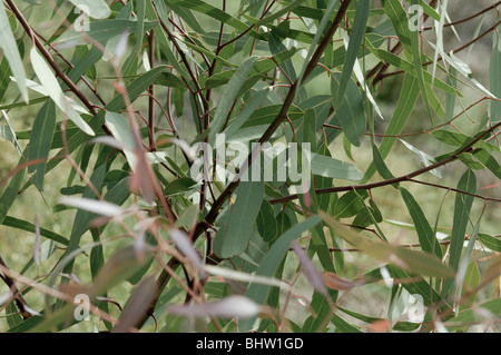 Eucalpt leaves or gum tree leaves on a tree. - Stock Photo