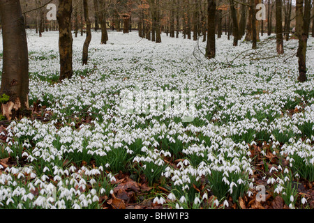 snowdrops in forest, welford england - Stock Photo
