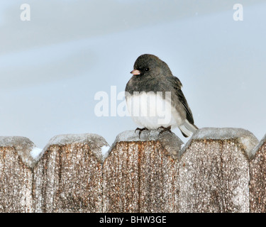 A Dark-eyed Junco, Junco hyemalis, perches on a fence during an ice storm in Oklahoma, USA. - Stock Photo