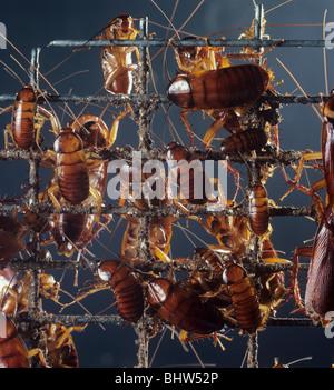 American cockroach (Periplaneta americana) on wire mesh - Stock Photo