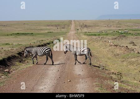 Two zebras crossing in Masai Mara National Nature Reserve Kenya East Africa - Stock Photo