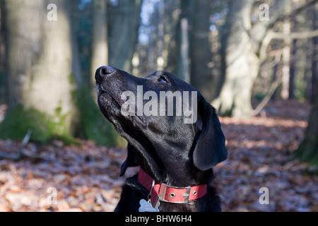 black labrador in woods sitting looking up - Stock Photo