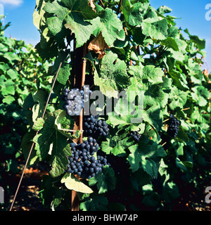 Bunches of Pinot Noir grapes ripening on the vine, Marne, Champagne, Grand Est, France, Europe, - Stock Photo