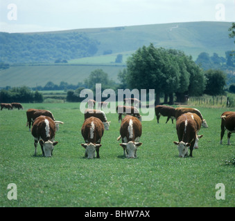 Four Hereford cows with their heads down grazing on short summer pasture, Berkshire - Stock Photo