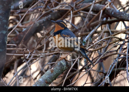 Varied Thrush Ixoreus naevius male perched in a tree at McGregor Marsh Nanaimo Vancouver Island BC Canada in January - Stock Photo
