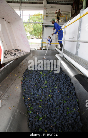 Grapes are tipped from trailer to hopper at Koelenhof Winery Stellenbosh western Cape South Africa During the wine - Stock Photo