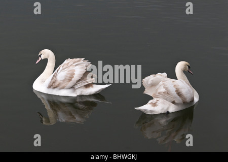 Young Swans swimming on Cosmeston Lake in Cosmeston Country Park Penarth South Wales - Stock Photo