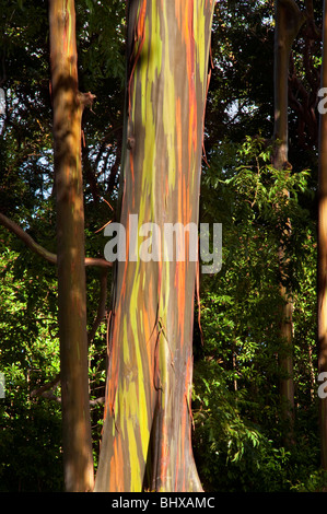 Eucalyptus deglupta or Rainbow Eucalyptus tree showing trunk and bark detail taken on the road to Hana Maui Hawaii. - Stock Photo