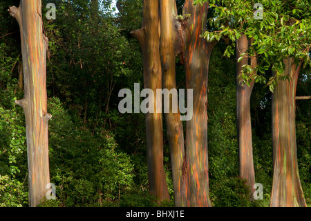 Eucalyptus deglupta or Rainbow Eucalyptus tree showing trunk and bark detail taken on the road to Hana Maui Hawaii. - Stock Photo