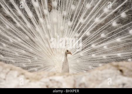 White peacock female (Pavo cristatus mut. Alba) - Stock Photo