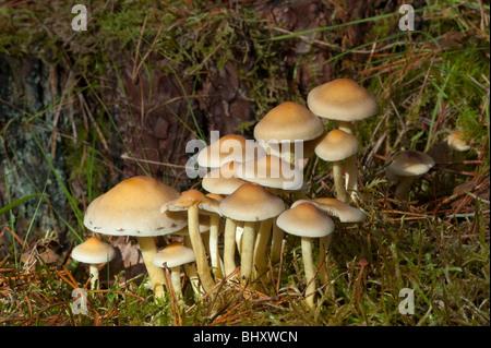 Conifer Tuft (Hyphloma capnoides) - Stock Photo
