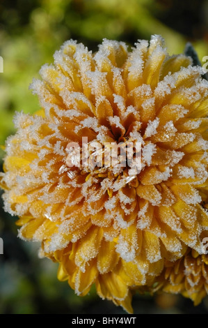 frost on the petals of a yellow chrysanthemum flower - Stock Photo