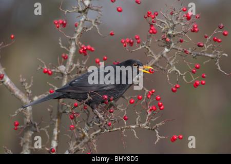 Blackbird Turdus merula feeding on hawthorn berries in winter Stock Photo