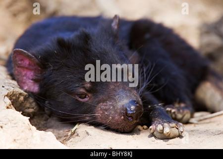 Tasmanian Devil (Sarcophilus harrisii) - Tasmania - Stock Photo