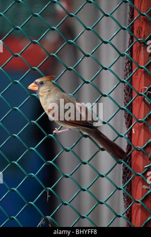 Northern Cardinal, Cardinalis cardinalis, female on fence - Stock Photo