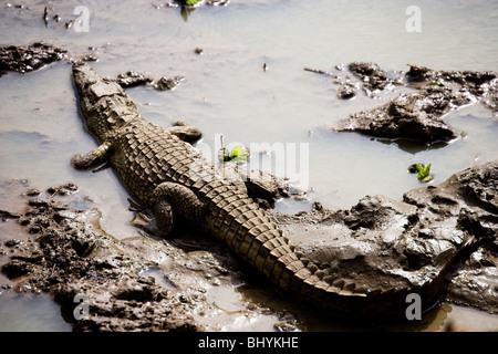 Nile Crocodile, Mikumi NP, Tanzania, East Africa - Stock Photo